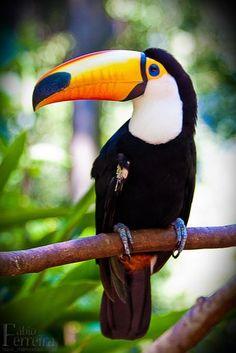 オニオオハシ Tucano-Toco by Fábio Ferreira on Tropical Birds, Exotic Birds, Colorful Birds, Tropical Animals, Exotic Pets, Pretty Birds, Beautiful Birds, Animals Beautiful, Nature Animals