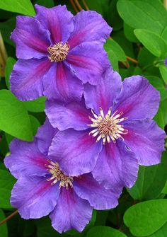 Clematis 'Ashva'. Myriads of small purple blossoms with a violet-red central bar on this heavy flowering, compact grower. Buds will form in each leaf axil to assure a long bloom time.    Size: 5'-6' tall. Bloom time: Early summer to fall. Plant zones: 4-8. PRUNE GROUP 3