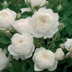 There is something a little special about white roses – they are all purity and light – and yet really good white roses are rare among English Roses and Hybrid Tea Roses alike. This is because white roses are very difficult to breed. 'Claire Austin' bears pleasingly cupped buds of a pale lemon shade which gradually open to form large, creamy-white flowers of typical English Musk delicacy. They have a strong fragrance based on myrrh with dashes of meadowsweet, vanilla and heliotrope.