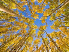 Quaking Aspen Trees During Fall, Utah Minden / SuperStock Wall Art Prints, Framed Prints, Canvas Prints, Aspen Trees, Contemporary Paintings, The Great Outdoors, Cool Photos, Scenery, Autumn