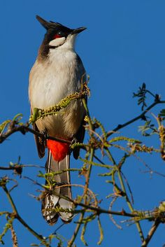 Red-Whiskered Bulbul, Pycnonotus jocosus