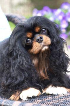 Puppy - Black & Tan Cavalier King Charles Spaniel by Leanne Newman Cavalier King Charles Spaniel, King Charles Puppy, Spaniel Puppies, Cute Cats And Dogs, Beautiful Dogs, Cute Puppies, Corgi Puppies, Dog Breeds, Cute Animals