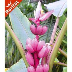 Rosa Zwerg-Banane, 1 Pflanze - BALDUR-Garten GmbH