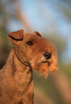 Lakeland Terrier. Wonder how long it will be before Phoebe looks like this???