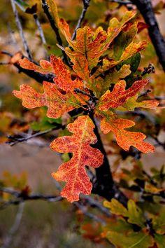 Branching Oak by Michael Brungardt