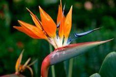Strelitzia reginae ... (Flor ave del Paraíso) Vivaces y anuales