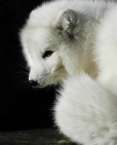 Arctic fox (by ucumari photography)
