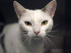 TO BE DESTROYED 9/10/14 ** Jana was displaying friendly behavior. interacts with the observer, appreciates attention, is easy to handle and tolerates all petting. ** Brooklyn Center My name is JANA. My Animal ID # is A1011799. I am a female white and black domestic sh mix. The shelter thinks I am about 2 YEARS old. I came in the shelter as a STRAY on 08/25/2014 from NY 11225, Group/Litter #K14-191586.