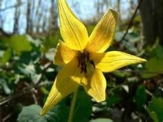 Trout-lily, a wildflower found in the Smoky Mountains