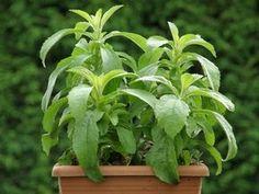 Stevia Sweetleaf Herb Seeds (Stevia Rebaudiana) - Under The Sun Seeds - 2 Herb Seeds, Annual Plants, Plantar, Aloe Vera, Perennials, Herbalism, Teak, Sugar, Gardens