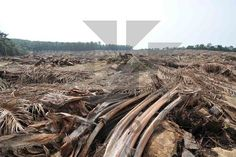 There are many examples of Good Agricultural Practices adopted in an oil palm field. One of them is zero-burning during replanting where old stands are felled, pulverized and left in situ to recycle nutrients back into the soil.