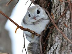 Animals And Pets, Funny Animals, Cute Animals, Japanese Dwarf Flying Squirrel, Animal Pictures, Cute Pictures, Cute Squirrel, Pretty Animals, Mundo Animal