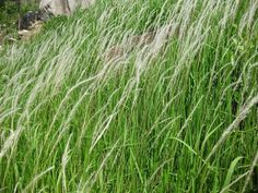 thuốc giải độc gan từ rễ cỏ tranh được dùng làm thuốc từ 2000 năm trước
