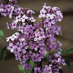 Syringa are classic garden shrubs and small trees that bear deliciously fragrant, tubular flowers which capture the essence of spring. Light Pink Flowers, Pink Roses, Lilac Plant, Syringa Vulgaris, Fine Gardening, Flower Gardening, Plant Guide, Classic Garden, Flower Landscape