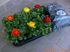 Kwiaty Jaskier. Flowers Jaskier