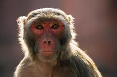 Monkeys have the vocal tools but not the brain power for language: Brooks Hays PRINCETON, N.J., Dec. 9 (UPI) -- The vocal tracts of…
