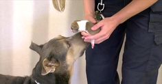 At just a day old, a tiny puppy had fallen into a drain pipe as her worried mother looked on in fear. Nicole McCormick with the Arizona Humane Society spent nearly 10 hours with Phoenix police, trying to rescue the poor baby. The puppy spent the entire night barking from underground, but her sounds and... View Article