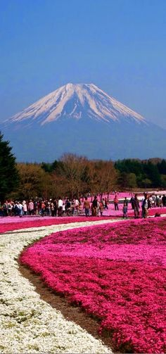 Fuji Shibazakura Festival at Hitsujiyama Park in Chichibu, Saitama Prefecture, Japan