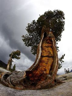 We need to protect our ancient trees. This is a 4000-5000 year old Bristlecone Pine - Yosemite National Park, CA.  Image by Jerry Rodgers Ancient Forest  via Green Renaissance FB