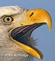 el pico del águila