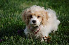 Charlie Borremeo - Cavapoo - 5 Months old