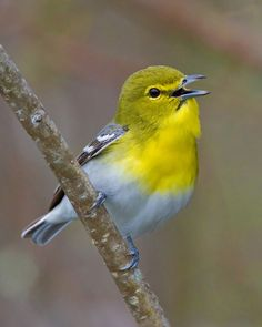Yellow-throated Vireo (Vireo flavifrons) an American songbird found from Southern Canada to Eastern United States