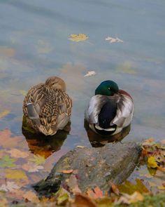 Zzzzz.  #mallard #ducks #snooze #nap #sleep #zzz #birds #water #fall #autumn #photograph #photo