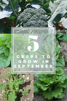 What can you plant in September?? Here are 5 crops you can still plant in September. #gardening #vegetablegardening #backyardgardening