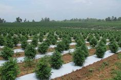 Buy CBD Hemp Flower – Hemp flower for sale 100 Pour Cent, Marijuana Plants, Cannabis Growing, Grow Organic, Different Plants, Buy Weed, Garden Pests, Hemp Oil, Flowers