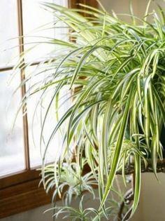 Zielistka (Chlorophytum) jest jedną z najpopularniejszych roślin doniczkowych. Swoją popularność zawdzięcza przede wszystkim łatwości uprawy i rozmnażania. Roślina potrafi przystosować się prawie do każdych warunków – dobrze rośnie na każdym stanowisku (tylko na stanowisku jasnym najlepiej uwidoczni siępaskowanie na liściach) i w każdej temperaturze (minimum 7 ºC). Wymaga jednak intensywnego podlewania od lutego do października, fot. Żaneta Pawlik