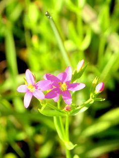ピンクの小花