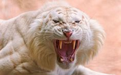 nice angry white tiger wallpaper Check more at http://www.finewallpapers.eu/pin/1601/