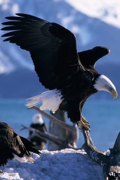 All types of eagle birds in the world with amazing facts. Bald eagles are symbol of American. They are at the top of the food chain, with some species feeding on big prey like monkeys and sloths. Eagle Wallpaper, Tier Wallpaper, Animal Wallpaper, Alaska Wallpaper, All Birds, Birds Of Prey, Beautiful Birds, Animals Beautiful, Photo Aigle