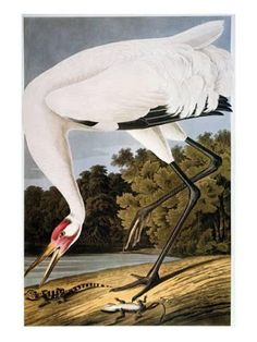 John James Audubon Solid-Faced Canvas Print Wall Art Print entitled Audubon: Whooping Crane, None Bird Prints, Wall Art Prints, Canvas Prints, Happy Bird Day, Audubon Birds, Crane Bird, Birds Of America, Bird Book, John James Audubon