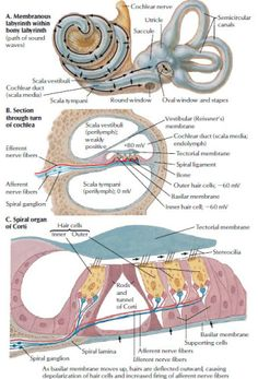 Auditory System Cochlear Receptors - Health, Medicine and Anatomy Reference Images