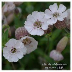 Merikohokki Silene uniflora compact