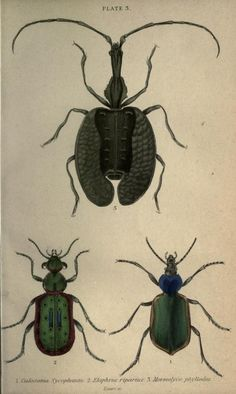 Violin beetle (Mormolyce phyllodes) and companions, 1846 (SCIENTIFIC ILLUSTRATION 1846 19TH CENTURY)
