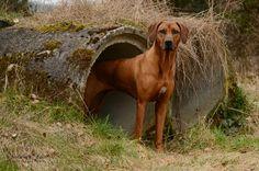 Rhodesian Ridgeback Rhodesian Ridgeback, Vizsla, Thai Ridgeback, Lion Dog, Large Dog Breeds, Dogs And Puppies, Doggies, Working Dogs, Beautiful Dogs
