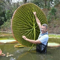 This enormous alien-like sphere that this man is holding up is actually the underside of a lily pad. You probably thought lily pads were just thin leaves resting on the water. Weird Plants, Unusual Plants, Rare Plants, Exotic Plants, Cool Plants, Exotic Fruit, Unusual Flowers, Beautiful Flowers, Plant Fungus