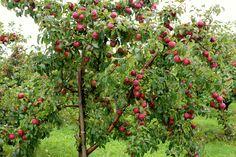 Apple Tree Wallpaper