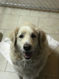 This is Dewey a 6 yrs old Golden Retriever/Great Pyrenees mix. He is neutered, current on vaccinations, potty trained. No dogs. No kids. He doesn't like noisy trucks. Has thunderstorm anxiety and wears a thundershirt. Golden Retriever Training, Old Golden Retriever, Golden Retrievers, Dog Potty, Great Pyrenees, Potty Training, Anxiety, Adoption, Trucks