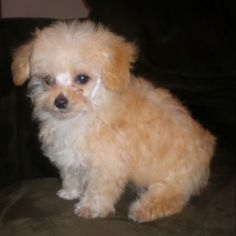 Toy Poodles For Sale, Toy Poodle Puppies, Tea Cup Poodle, Poodle Grooming, Cute Toys, Teacup, Palace, Dallas, Moon