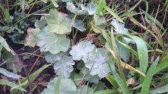 Alchémille, Alchemilla vulgaris ROSACEES Septembre 2013 Hémostatique, vulnéraire, progestatif 2013, Gardens, Ceiling Rose, September, Earth, Plant