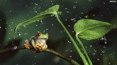windows wallpaper frog - frog category