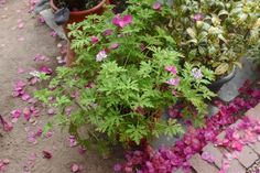 cinronella scented geranium and bougainvillea blossom at Lyman Estate, Gardenista
