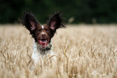 'Hello!' - fun & frolics in the Cornish fields. We love this white & chocolate springer spaniel.