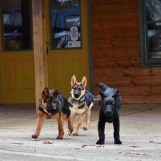 GSD Puppies #GermanShepherd