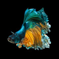 betta fish, siamese fighting fish 'Half moon' isolated on black background Pretty Fish, Beautiful Fish, Cute Fish, Beautiful Sea Creatures, Animals Beautiful, Colorful Fish, Tropical Fish, Betta Fish Types, Betta Fish Bowl