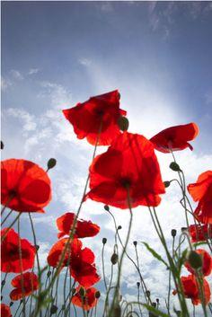 poppies to Heaven