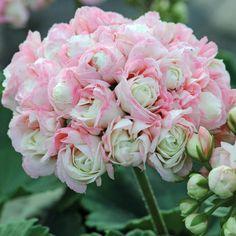 Geranium Pelargonium is one of the best hanging basket flowers